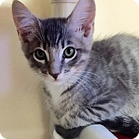 Adopt A Pet :: Kitten Spike - Seal Beach, CA