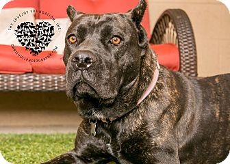 Cane Corso Mix Dog for adoption in Inglewood, California - Amber