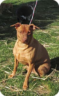 Miniature Pinscher Dog for adoption in WOODSFIELD, Ohio - BEAR