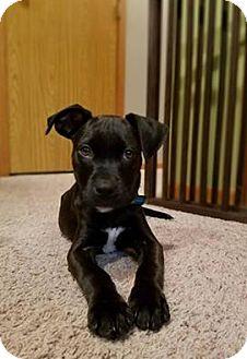 American Pit Bull Terrier Puppy for adoption in Minneapolis, Minnesota - Laredo - adoption pending