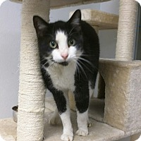 Domestic Shorthair Cat for adoption in Ottawa, Kansas - Pete