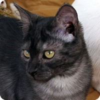 Domestic Shorthair Kitten for adoption in Republic, Washington - Ginny