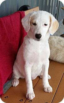 Beagle/German Shepherd Dog Mix Puppy for adoption in Urbana, Ohio - Julie