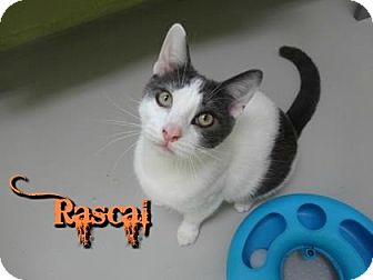 Domestic Shorthair Cat for adoption in Sarasota, Florida - Rascal