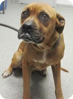 Boxer Mix Dog for adoption in Lincolnton, North Carolina - Agnes