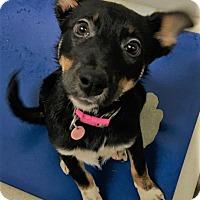Adopt A Pet :: Amelia (Zoey) - Paducah, KY