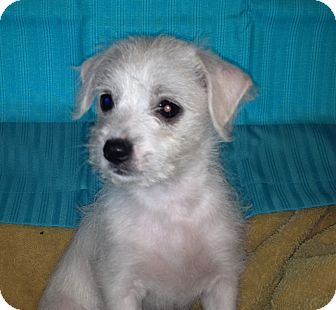 Adam | Adopted Puppy | waterbury, CT | Maltese/Chihuahua Mix