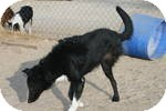 Border Collie Dog for adoption in Simi Valley, California - Lana