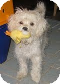 Maltese/Poodle (Miniature) Mix Puppy for adoption in Pasadena, California - SKIPPY