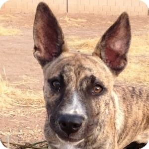 German Shepherd Dog Mix Puppy for adoption in Gilbert, Arizona - Squiggles