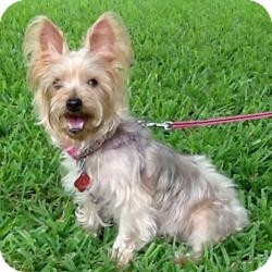 Silky Terrier Dog for adoption in St. Petersburg, Florida - LENA
