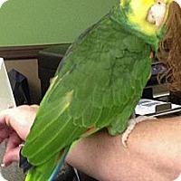 Adopt A Pet :: Simon - Wantage, NJ