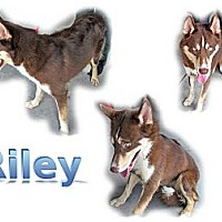 Adopt A Pet :: Riley - Seminole, FL