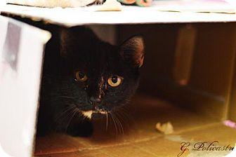 Domestic Mediumhair Cat for adoption in Staten Island, New York - Sonia