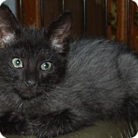 Adopt A Pet :: GEMMA CENTAURI - Acme, PA