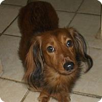 Adopt A Pet :: Weinie - Georgetown, KY