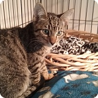 Domestic Shorthair Kitten for adoption in Santa Monica, California - Snuggles
