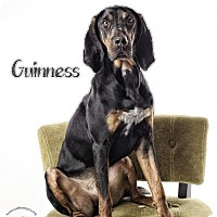 Adopt A Pet :: Guinness - Stafford, VA