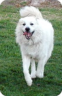 Great Pyrenees Dog for adoption in Bloomington, Illinois - Max