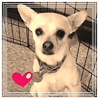 Chihuahua Mix Dog for adoption in Naples, Florida - Dexter