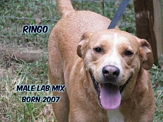 Labrador Retriever Mix Dog for adoption in Huddleston, Virginia - Ringo