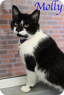Domestic Shorthair Cat for adoption in Bradenton, Florida - Molly
