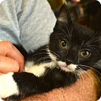 Domestic Shorthair Kitten for adoption in Baltimore, Maryland - Ruby (Jewel)