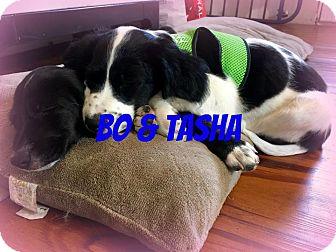 Spaniel (Unknown Type)/Labrador Retriever Mix Puppy for adoption in Greenville, Ohio - Owen& Sasha