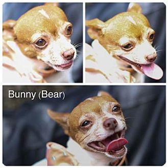 Chihuahua Dog for adoption in Fort Worth, Texas - Bunny aka Bear