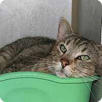Domestic Shorthair Cat for adoption in Ruidoso, New Mexico - Raa