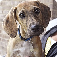 Adopt A Pet :: Pikelet - Knoxville, TN