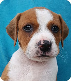Labrador Retriever Mix Puppy for adoption in Colonial Heights, Virginia - Pickles