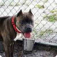 Adopt A Pet :: Snorkles - Bradenton, FL