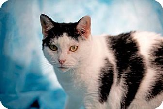 Oriental Cat for adoption in Herndon, Virginia - Meow Meow