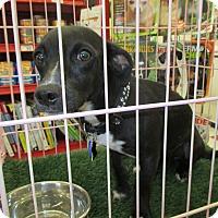 Adopt A Pet :: Snuggles - Lancaster, CA