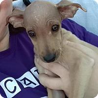 Adopt A Pet :: Gucci - San Tan Valley, AZ