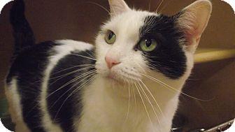 Domestic Shorthair Cat for adoption in Appleton, Wisconsin - Cinnamon *Petsmart GB*