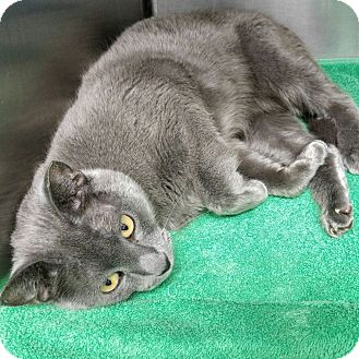 Russian Blue Cat for adoption in Phoenix, Arizona - Lady