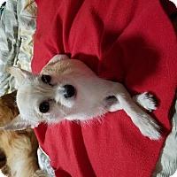 Chihuahua Mix Dog for adoption in Whitestone, New York - Ava(bella)