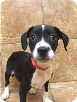 boston terrier puppy wisconsin appleton wi boston terrier mix meet doodle petsmart gb a puppy for adoption 7417