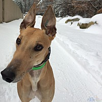 Adopt A Pet :: Iceman - Swanzey, NH