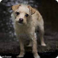 Adopt A Pet :: Tori - Windsor, CA