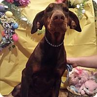 Adopt A Pet :: Kahlua - Chiefland, FL