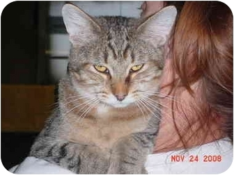 Domestic Shorthair Cat for adoption in Pendleton, Oregon - Simba