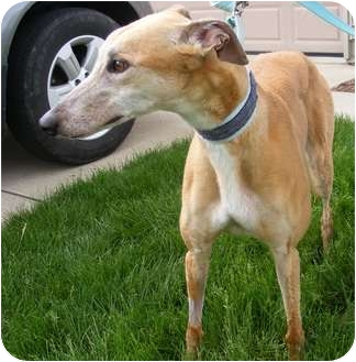 Greyhound Dog for adoption in Fremont, Ohio - Reba