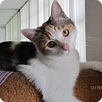 Domestic Shorthair Cat for adoption in Miami, Florida - Julie