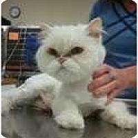 Adopt A Pet :: Snow Bell - Murfreesboro, TN