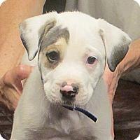 Adopt A Pet :: Ringo - Kittery, ME