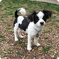 Adopt A Pet :: Abby - Buena Park, CA