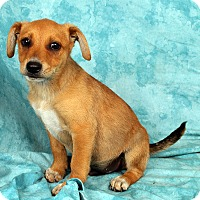 Adopt A Pet :: Jordan Heeler Mix - St. Louis, MO